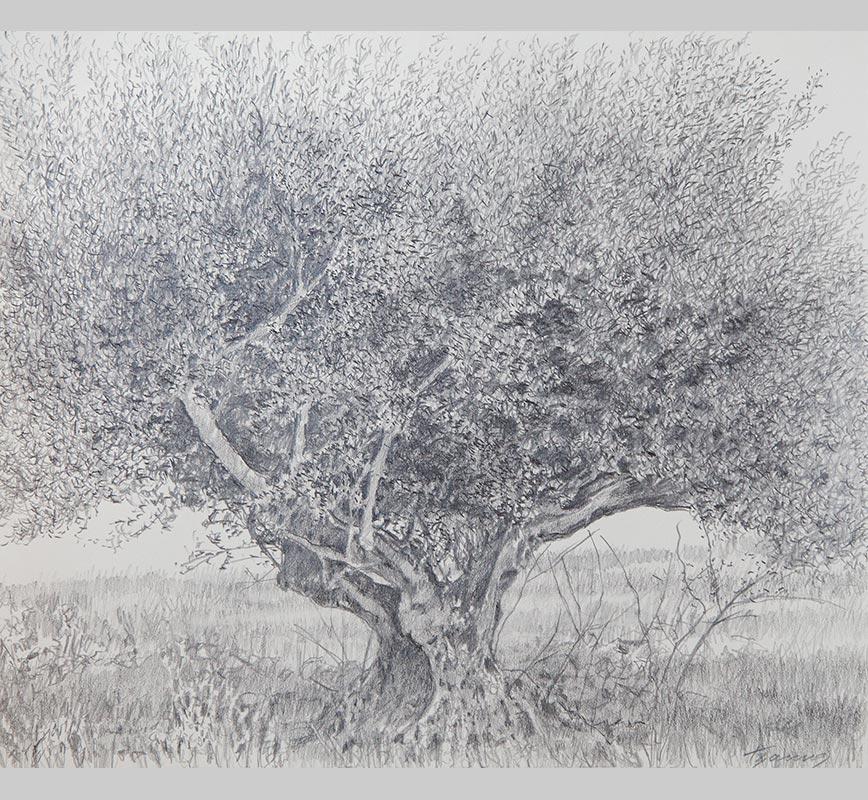 Olive tree drawing. Title: Olive Tree