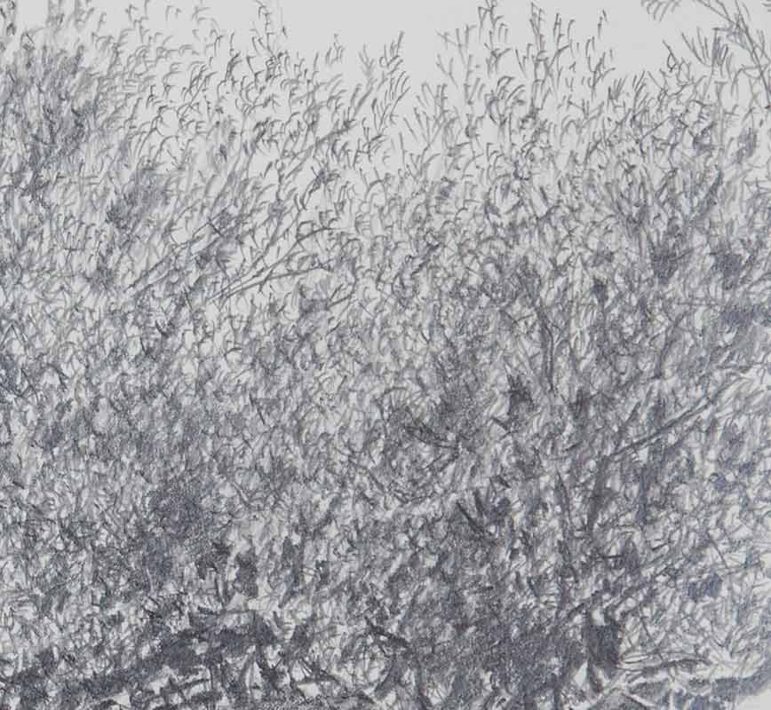 Detail of Olive tree drawing. Title: Olive Tree